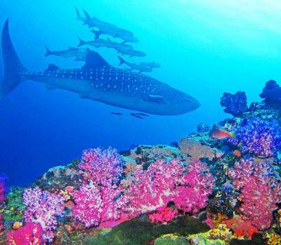 whale-shark-richelieu-rock